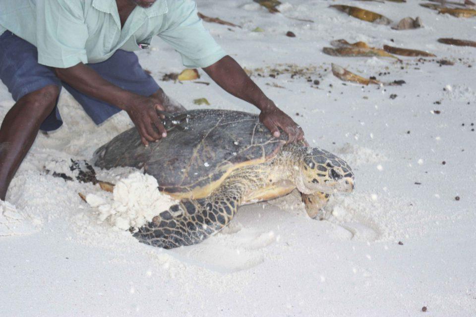 Seychelles Volunteer Diary: Turtle monitoring north island seychelles