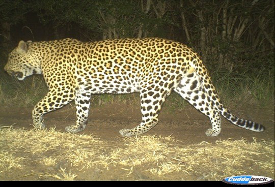 Male leopard - Camera Traps