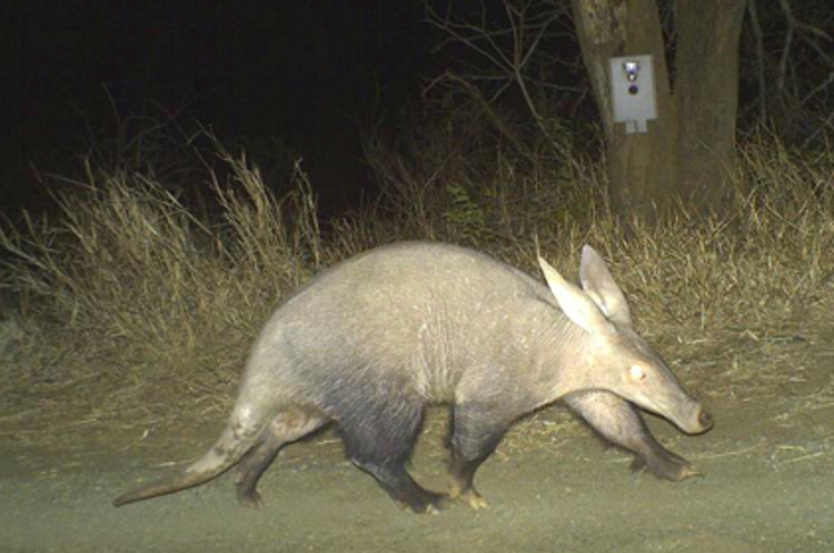 Aardvark on Camera Traps