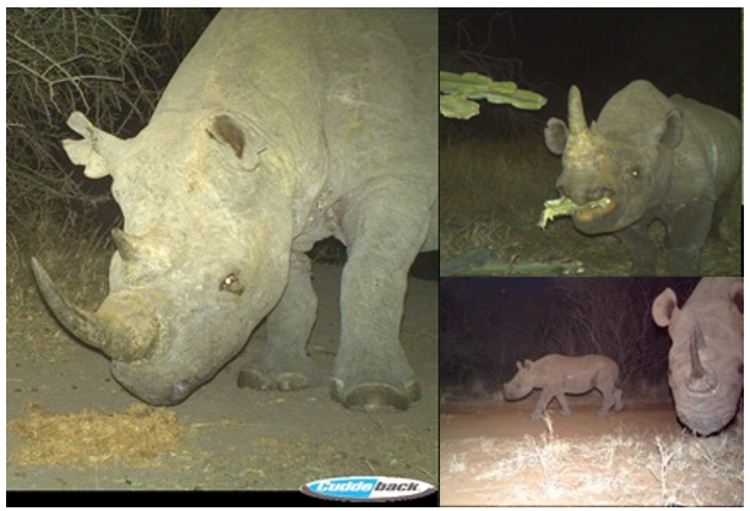 Various black rhino on Camera Traps
