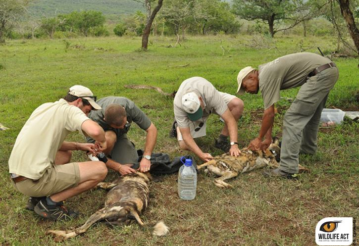 Wild Dogs Released on Somkhanda Game Reserve