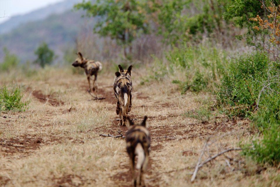 Wild Dogs Zimanga Susu Hauser Wildlife ACT
