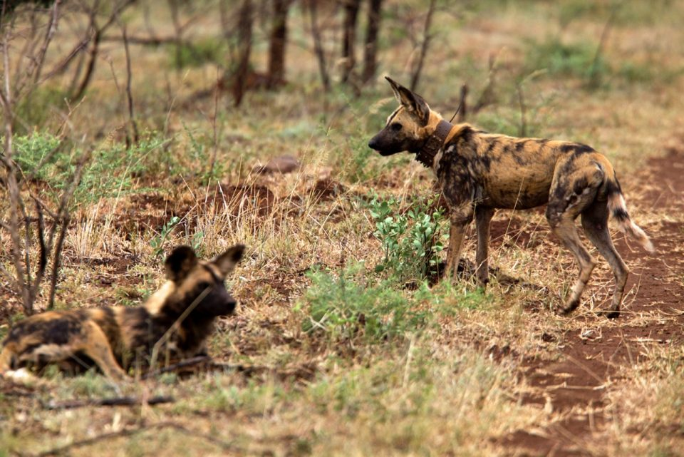 Wild Dog Pair Zimanga Wildlife ACT