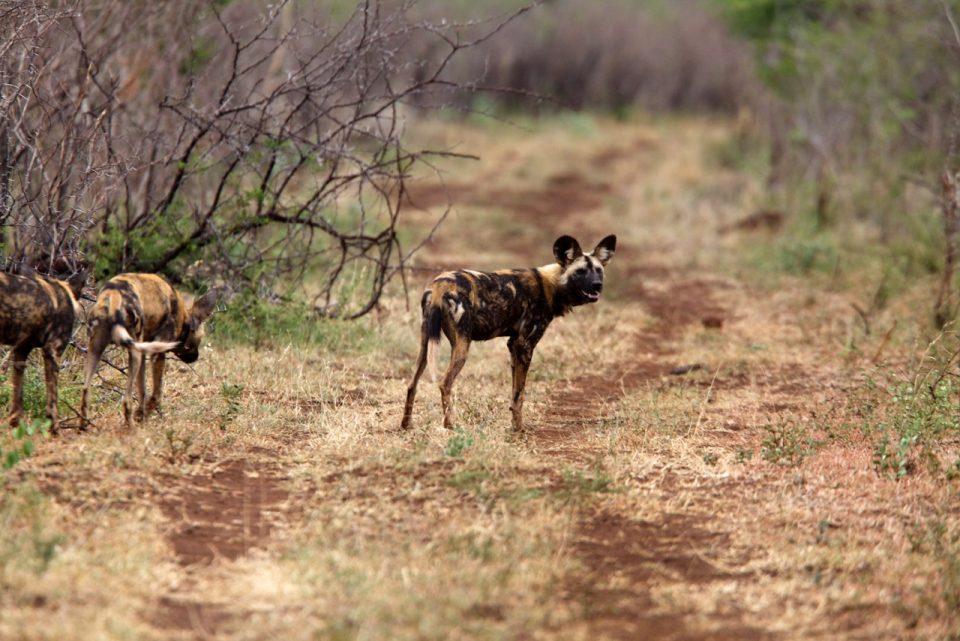 Wild Dog pair Zimanga Susu Hauser