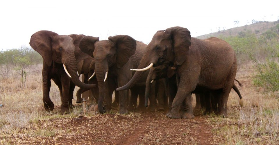 Elephant Herd Wildlife ACT Susu Hauser Zimanga