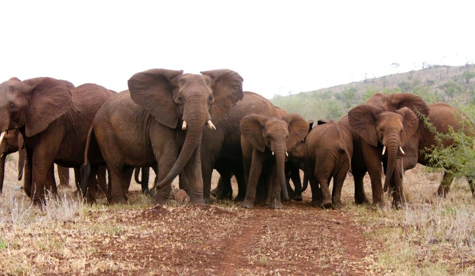 Elephant Herd Zimanga Wildlife ACT Susu Hauser