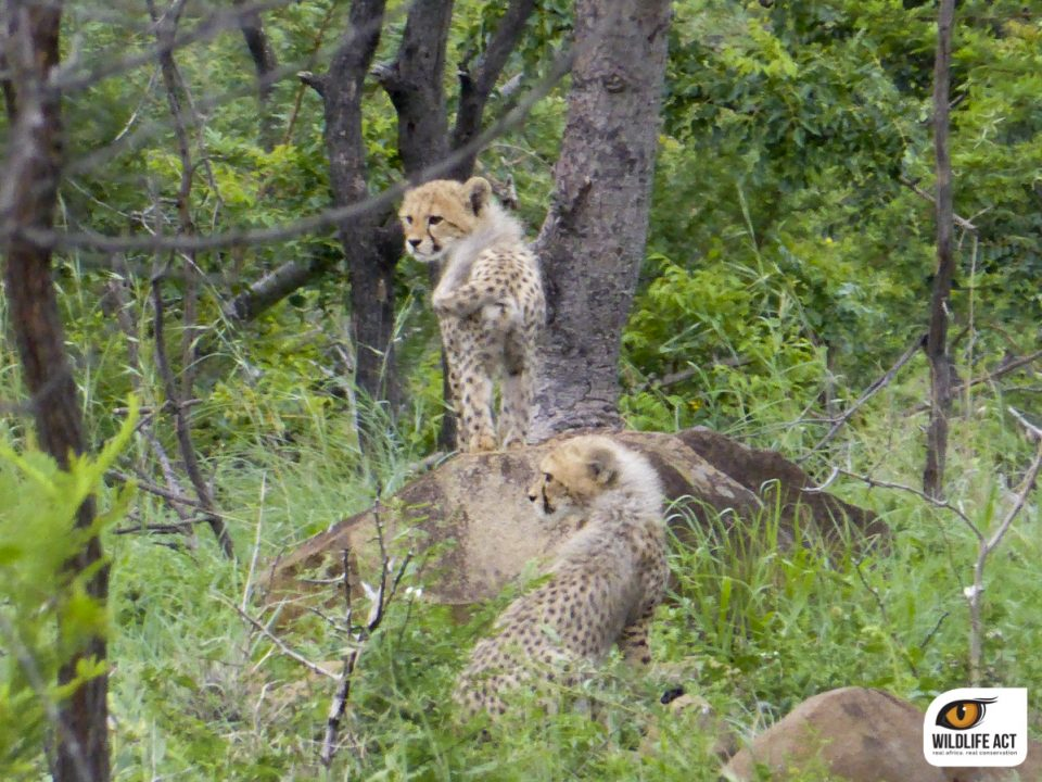 Cheetah Hunting with Cubs