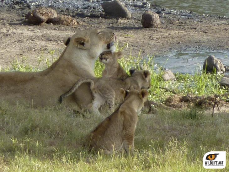 Lion Cubs Tembe