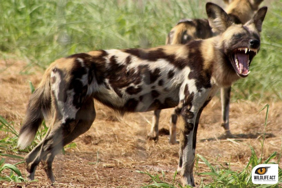 Wild Dog female at Manyoni Private Game Reserve
