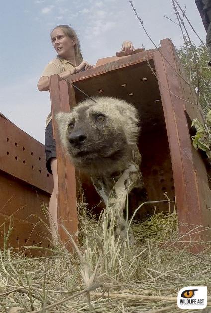 Wildlife ACT Wild Dog release ZRR