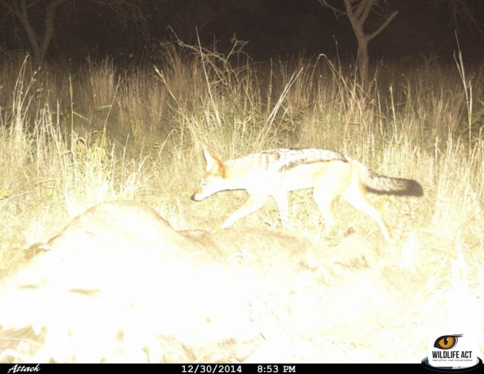 Black-backed jackals  caught on the carcass camera trap