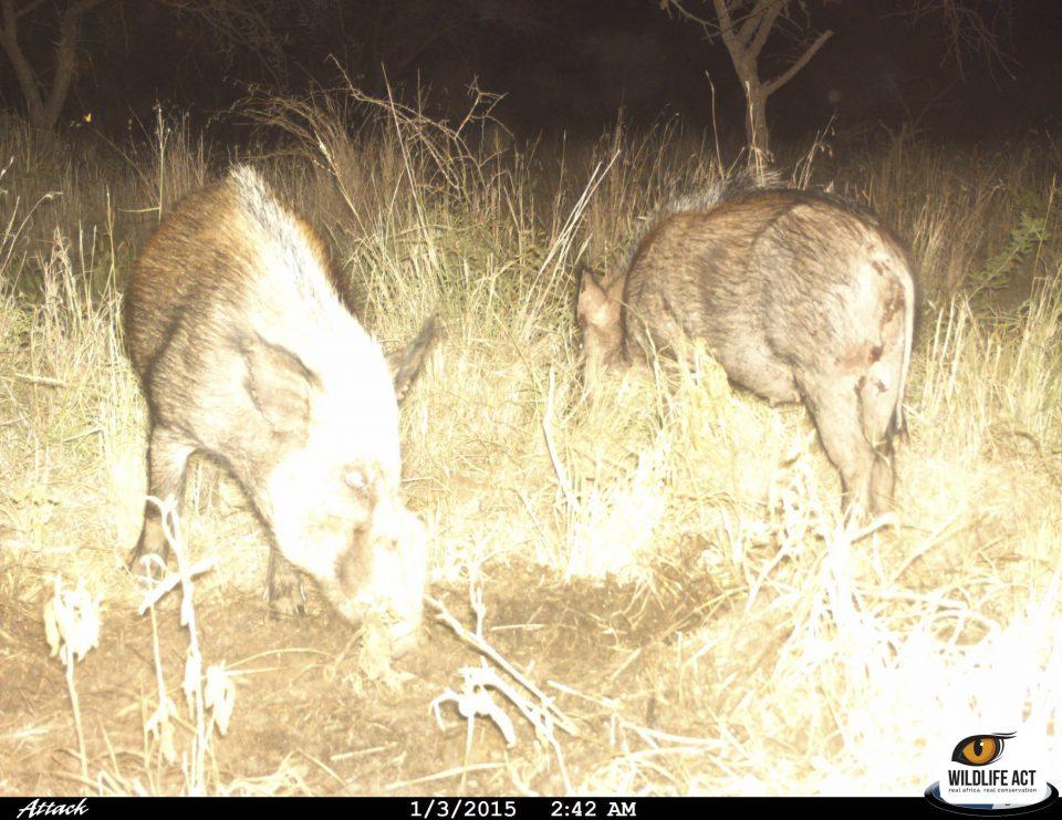 Bush pigs