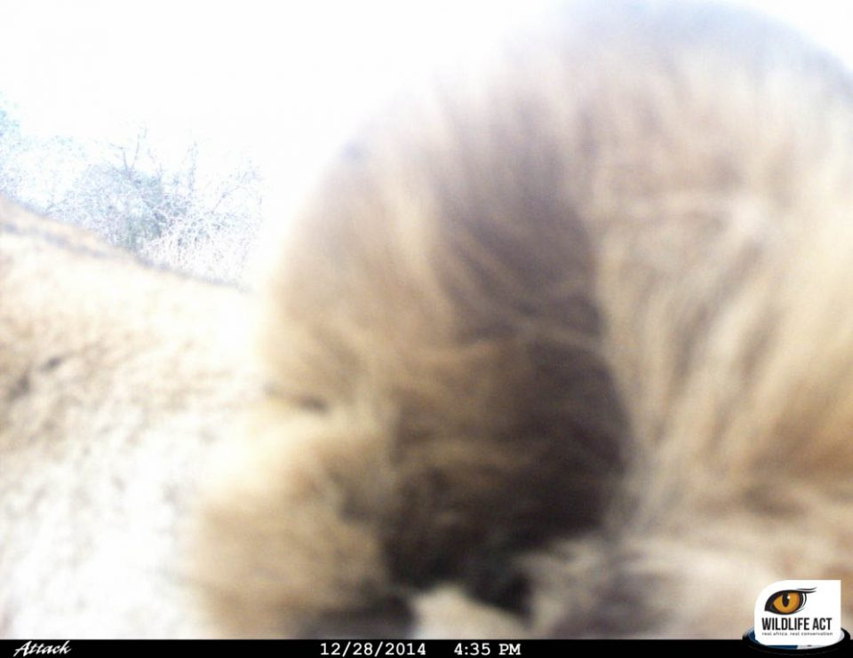 Lion camera trap