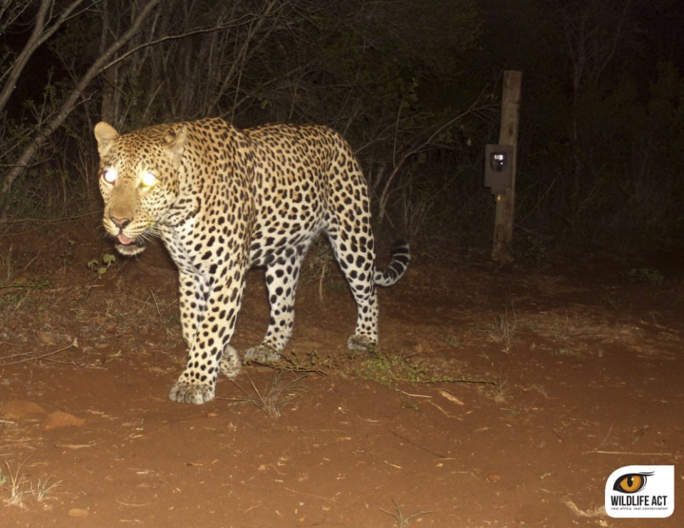 Leopard Camera Trap Wildlife ACT Zululand Rhino Reserve