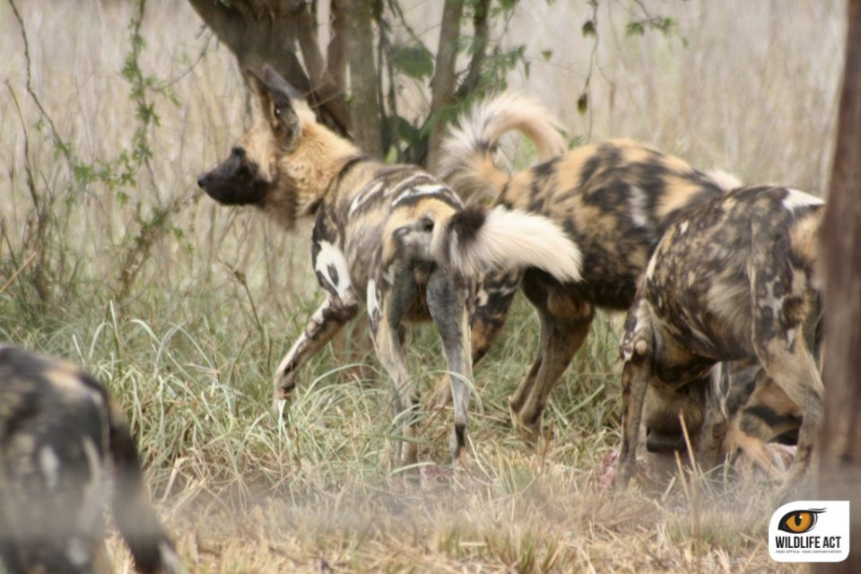 Wild Dogs in Boma in Zululand Rhino Reserve