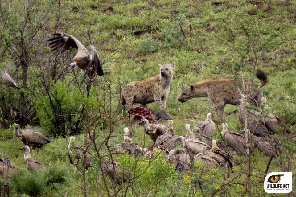 Hyena and White-backed vultures scavenging on old lion kill.