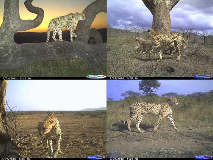 Cheetah camera trap images