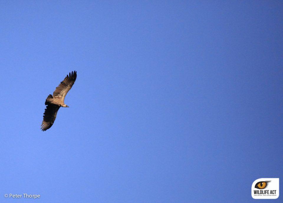 Vulture in iMfolozi