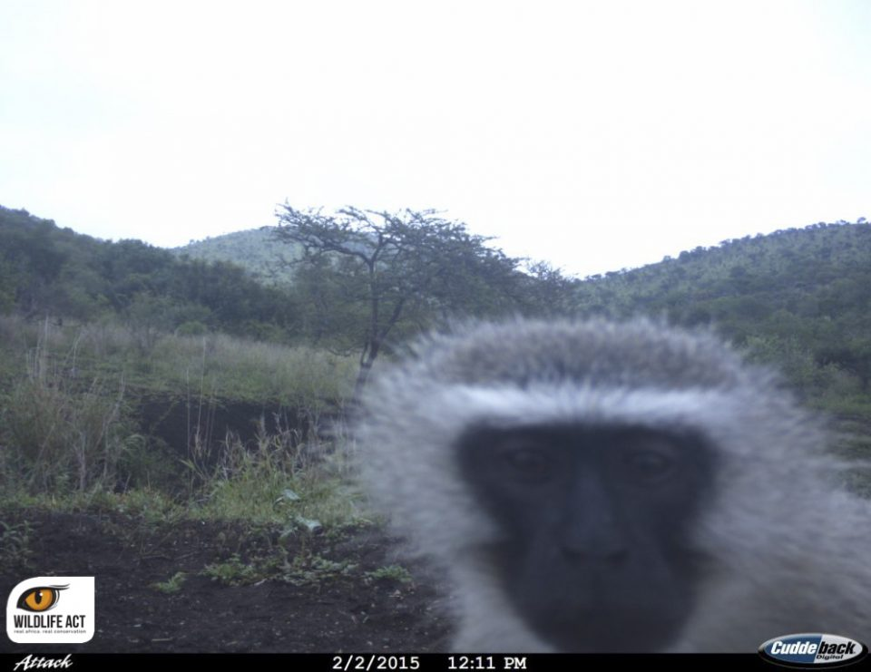 Vervet Monkey camera trap ZRR