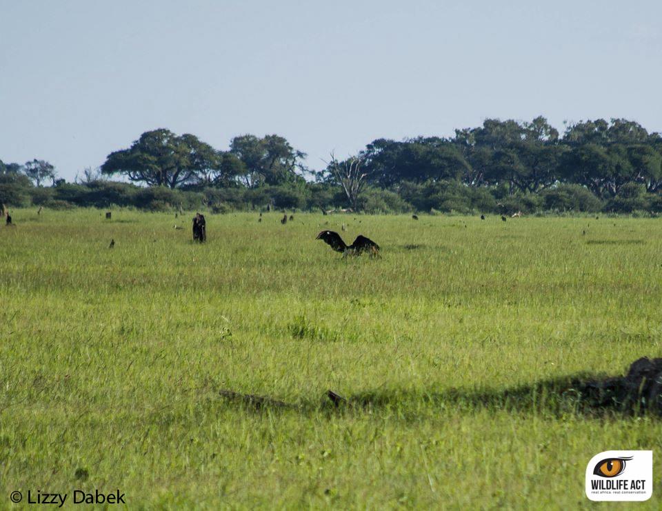 leopard maribu stork botswana