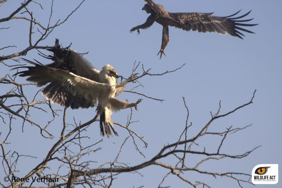 Tawny Eagle vs Yellow Billed Kite