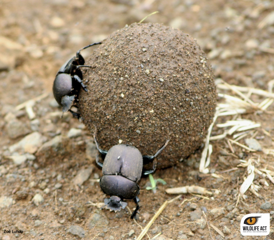 dung beetle on ZRR