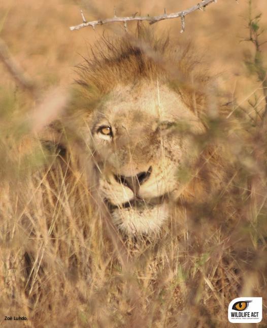 Lion ZRR