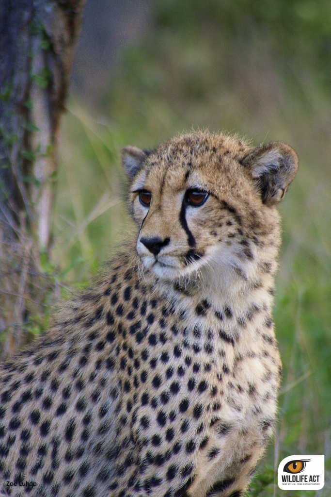 Cheetah on ZRR
