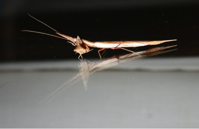 Peculiar insects in Tembe Elephant Park Grass Mantid