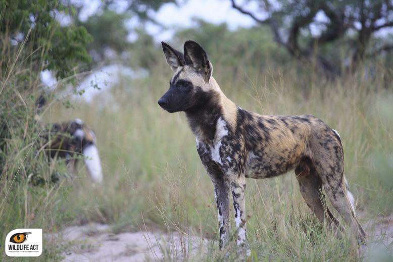 Tembe Wild Dogs
