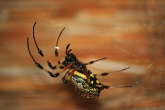 Peculiar insects in Tembe Elephant Park Hermit Spider
