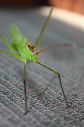 Peculiar insects in Tembe Elephant Park Green katydid