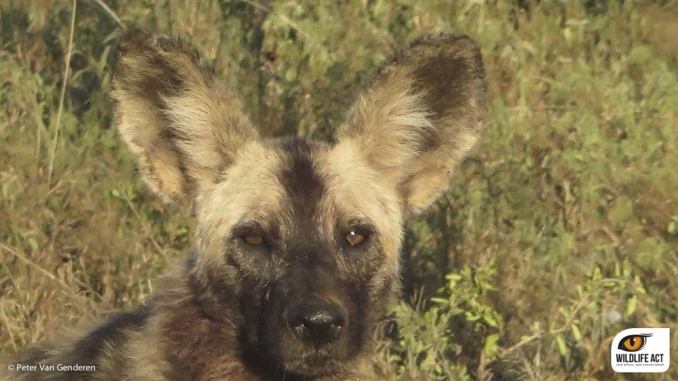 Wild Dog Monitoring Experience  African Wild Dog