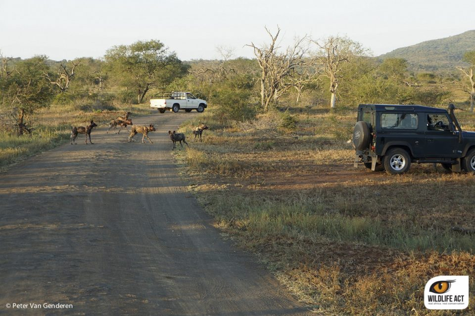 Wild Dog Monitoring Experience in KZN
