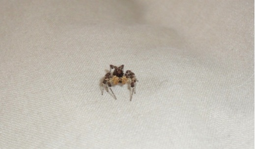 Peculiar insects in Tembe Elephant Park Jumping spider