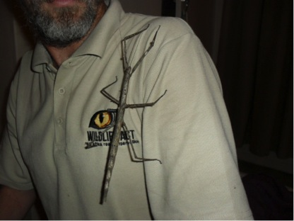 Peculiar insects in Tembe Elephant Park stick insects