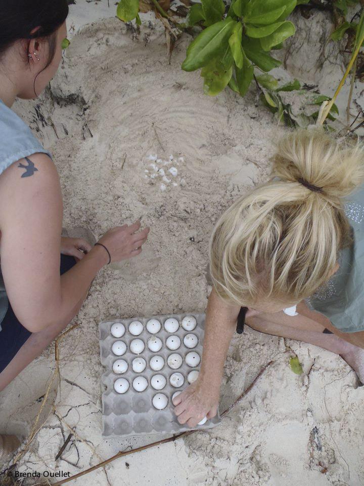 Turtle Nest Relocation - North Island, Seychelles