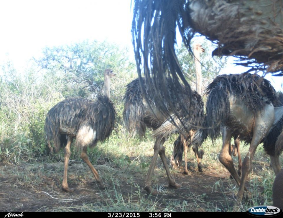 Ostriches, iMfolozi, Wildlife ACT