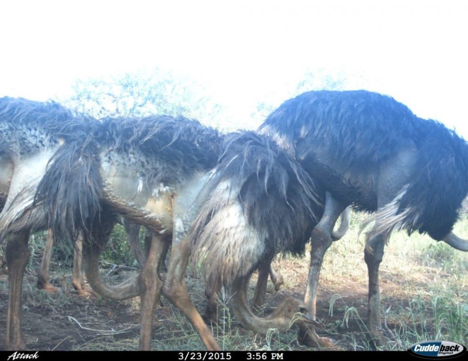 Ostrich, iMfolozi, Wildlife ACT