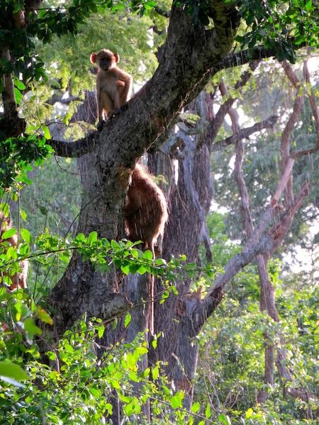 Yellow baboork - African Bat Conservation in Liwonde National Park