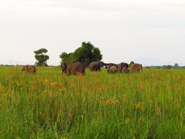 Herd of elephants in Liwonde Natioanal Park - African Bat Conservation