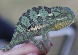 Chameleon Botswana