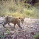 Ithala leopard cub camera trap, Wildlife ACT