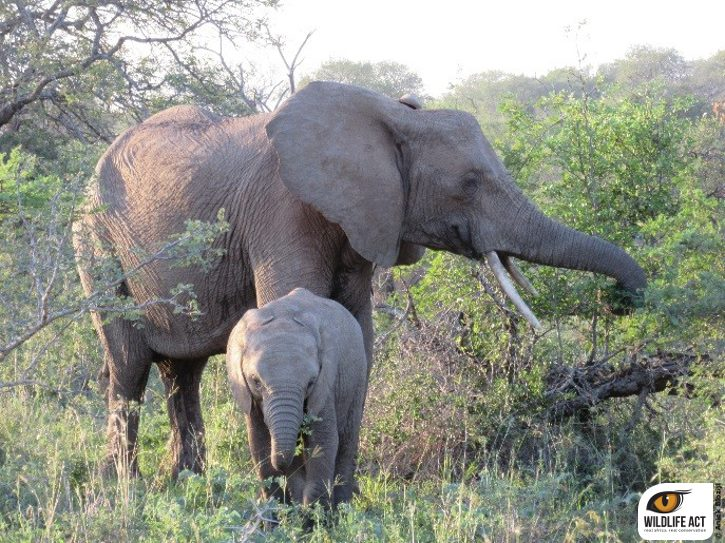 Elephant and calf, imfolozi