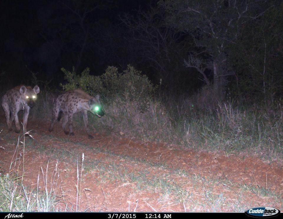 Somkhanda Camera Trap Images Hyena