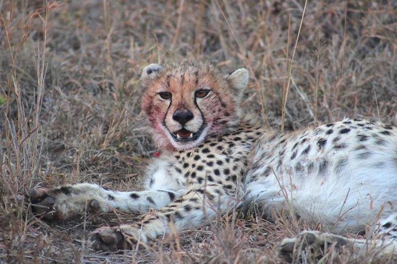 Cheetah cub iMfolozi
