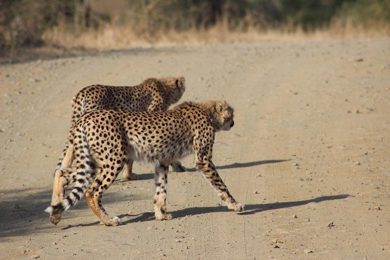 Cheetah cubs iMfolozi