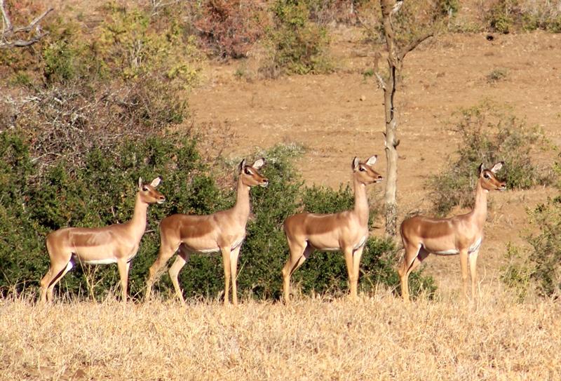 Impala iMfolozi