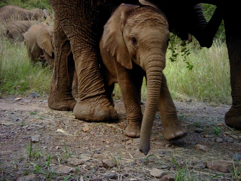Ithala elephant leopard survey camera trap