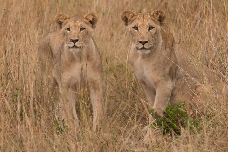 Jim Ward lion cubs - Tembe Elephant Park Lion Monitoring During Winter
